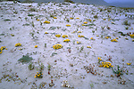 Wild flowers in bloom in the southern reaches of Chiles Atacama desert, Llanos de Challe national park.