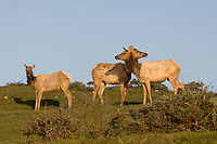 A herd of Tule Elk, Point Reyes California