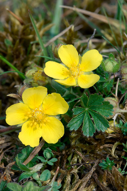 SPRING CINQUEFOIL Potentilla tabernaemontani (Rosaceae) Height to 15cm. Creeping, mat-forming perennial with woody stem bases. Found in dry, calcareous grassland. FLOWERS are 1-2cm across with 5 yellow petals; borne in loose clusters (Apr-Jun). FRUITS are dry and papery. LEAVES comprise palmate basal leaves with 5-7 leaflets, and trifoliate stem leaves. STATUS-Widespread but extremely local.