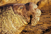 Male or bull Northern Elephant Seal (Mirounga angustirostris)