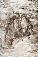 Detail of birch tree bark, Vermont, USA