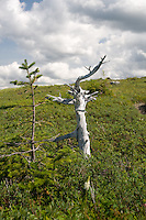 Two Treea one dead one alive Lookout Trail Gros Morne National Park Newfoundland and Labrador