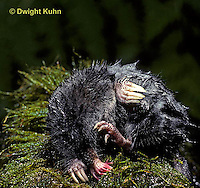 MB18-007z   Star-nosed Mole - scratching after a swim - Condylura cristata