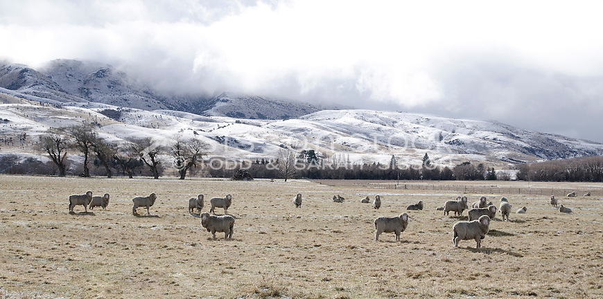 Sheep graze in dry paddock. Clearing snow storm, Lindis Pass, South Island