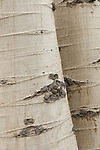 Trunks of quaking aspen (Populus tremuloides), Green Creek Area, Toiyabe National Forest, California
