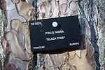 Tree species identification label, National arboretum, Westonbirt arboretum, Gloucestershire, England, UK - Pinus Nigra, black pine