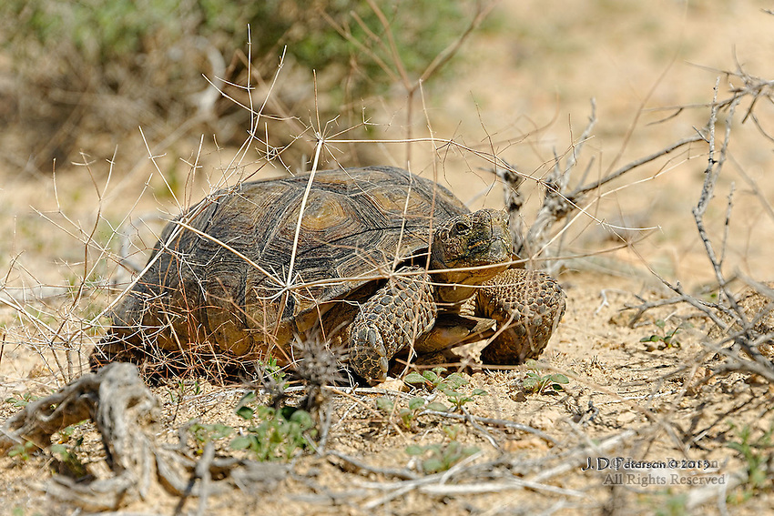 Land Cruiser: Desert Tortoise, Mojave Desert, Western Arizona