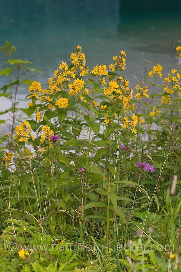 Gewöhnlicher Gilbweiderich, Gilb-Weiderich, Felberich, Weiderich, Lysimachia vulgaris, Yellow Loosestrife, Lysimaque commune