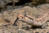 477204004 a captive sidewinder crotalus cerastes crawls along the ground sensing the environment with its tongue - species is native to deserts of the southwestern united states