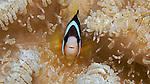 Clark's Anemonefish, Banda Sea, Indonesia