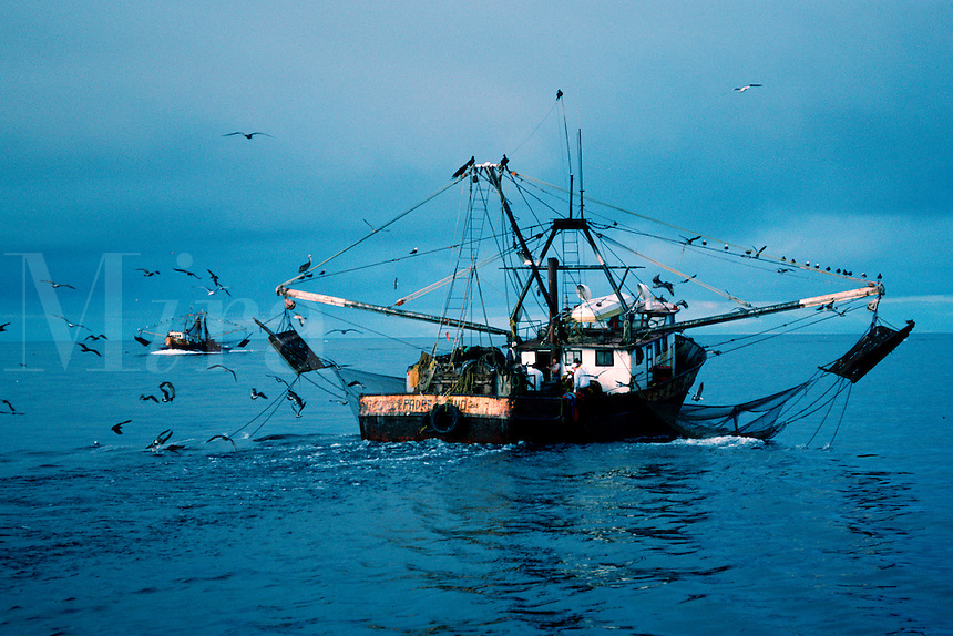 The destructive otter trawl nets for shrimp has brought the fishery to the verge of total collapse . 80-90% of the non-target animals are thrown back dead as incidental kill, Sea of Cortez, Mexico