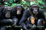 Sandy tickles her infant son, Sampson, joined by her daughter Sherehe and male chimp, Apollo<br /> Eastern Chimpanzees (Pan troglodytes schweinfurthii)<br /> Gombe National Park, Tanzania, East Africa 1997
