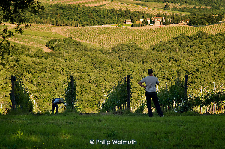 Farm workers in a vineyard in the Chianti region of Tuscany, Italy.