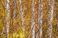 A image of yellow aspens and willow bushes.