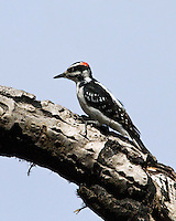 Hairy Woodpecker, Glacier National Park, MT