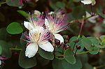 15714-CO Caper Plant flowers, Capparis spinosa, Herbal shrub, source of culinary capers, in June at Huntington Gardens, San Marino, CA USA