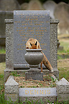 An urban Red fox looking for food on a grave in a London cemetery.