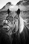 Smiling Icelandic horse