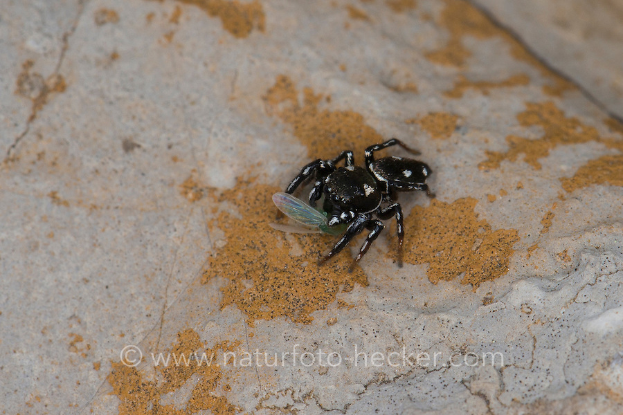 Springspinne, mit Beute, Sonnenspringspinne, Sonnen-Springspinne, Heliophanus kochii, Heliophanus albosignatus, Heliophanus armatus, Heliophanus calcarifer, jumping spider, Springspinnen, Salticidae, jumping spiders