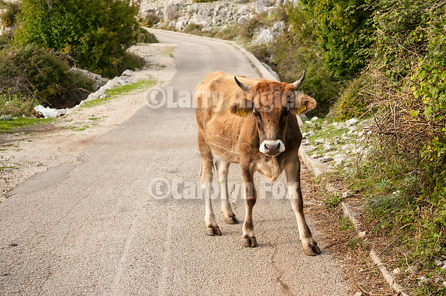 Cow in the road to Verbanje above Krusevice, Montenegro