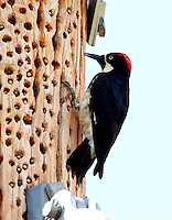 Adult acorn woodpecker storing acorns in a power pole; the pole was full of acorns on all sides and top to bottom.
