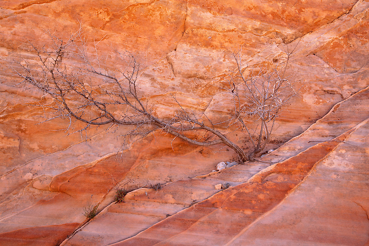 A dead tree rests against the colorful, striated sandstone walls in Valley of Fire State Park, Nevada, USA