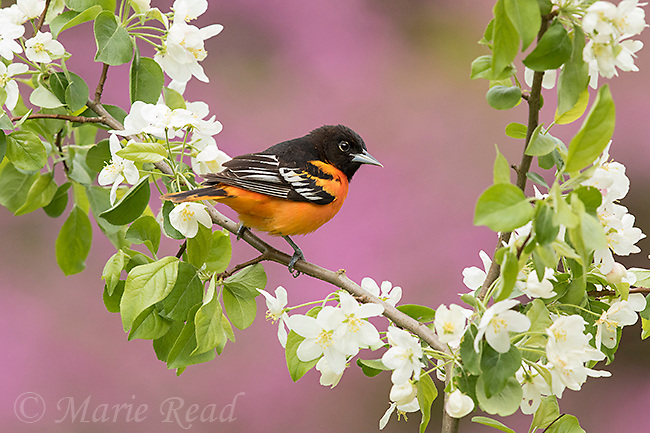 Baltimore Oriole (Icterus galbula) male perched in pear blossom, eastern redbud in background, New York, USA