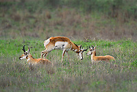 673080112 wild pronghorn antilocarpa americana graze and interact on a grassy hillside near canadian texas united states