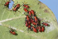 Large Milkweed Bug nymphs; Oncopeltus fasciatus; on Common Milkweed;  PA, Philadelphia, Schuylkill Center