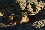 Mountain Lion (Puma concolor) mother and six month old cubs playing in shelter of calcium deposits, Sarmiento Lake, Torres del Paine National Park, Patagonia, Chile