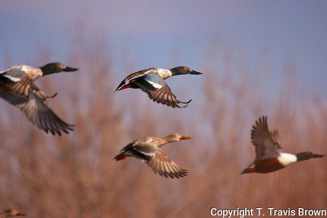 Northern Shovelers in Flight