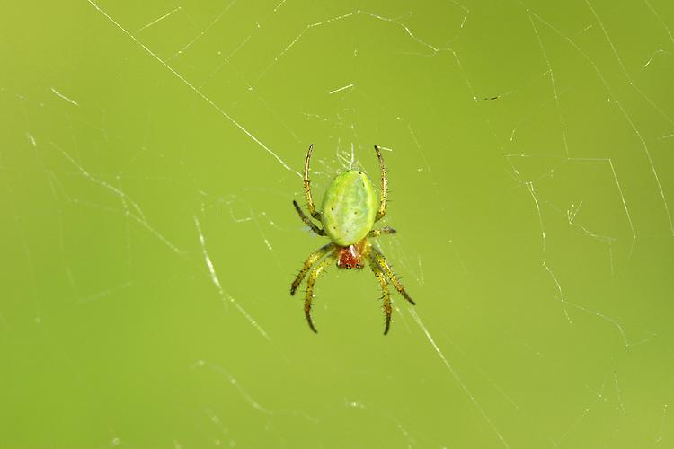 Cucumber Green Orb spider - Araniella curcurbitina