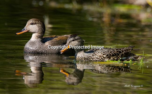 Ducks, Gadwall pair