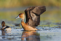 Fulvous Whistling-Duck (Dendrocygna bicolor), adult spreading wings, Sinton, Corpus Christi, Coastal Bend, Texas, USA