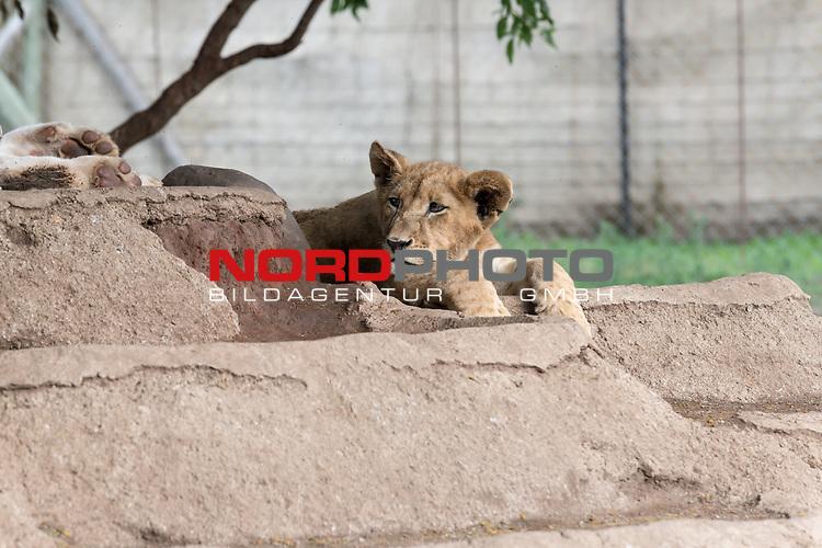 07.01.2019, Broederstroom, Johannesburg, RSA, TL Werder Bremen Johannesburg Tag 05 - Besuch Lion and Safari Park<br /> <br /> im Bild / picture shows <br /> <br /> Anfassgehege ein Loewenbaby<br /> <br /> <br /> Foto &copy; nordphoto / Kokenge
