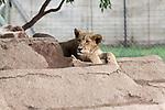 07.01.2019, Broederstroom, Johannesburg, RSA, TL Werder Bremen Johannesburg Tag 05 - Besuch Lion and Safari Park<br /> <br /> im Bild / picture shows <br /> <br /> Anfassgehege ein Loewenbaby<br /> <br /> <br /> Foto © nordphoto / Kokenge
