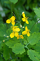 Greater celandine (Chelidonium majus), early May.