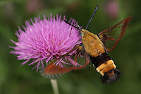 The Hummingbird Clearwing Moth(wingspan 38-50 mm), readily visits flowers by day throughout the eastern half of the U.S. and Canada, where it ranges far to the north, even into the Yukon.