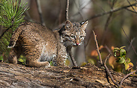 Bobcat kitten in autumn