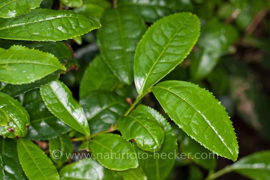Teepflanze, Tee-Pflanze, Teestrauch, Echter Teestrauch, Tee, Camellia sinensis, Thea sinensis, tea plant, tea shrub, tea tree, tea camellia, tea