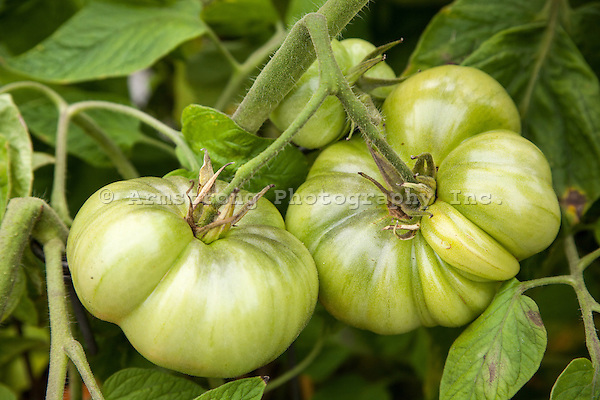 Close up of green unripe tomatoes growing on a tomato plant in a vegetable garden.