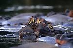 Red-Billed Oxpeckers congregate on a hippopatamus resting in Lake Manyara, Tanzania