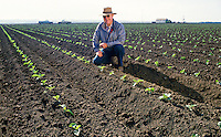 Farmer inspecting field and rows of young cauliflower seedlings in large Salinas Valley, California farm