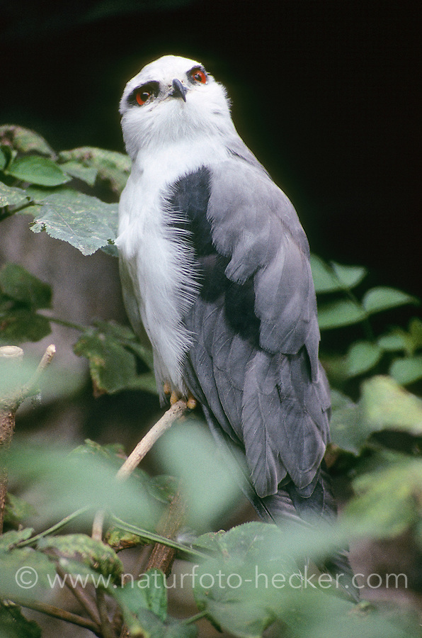 Gleitaar, Elanus caeruleus, black-shouldered kite, Black-winged Kite