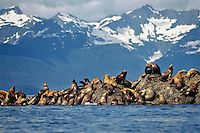 Northern or Steller Sea Lions (Eumetopias jubatus)