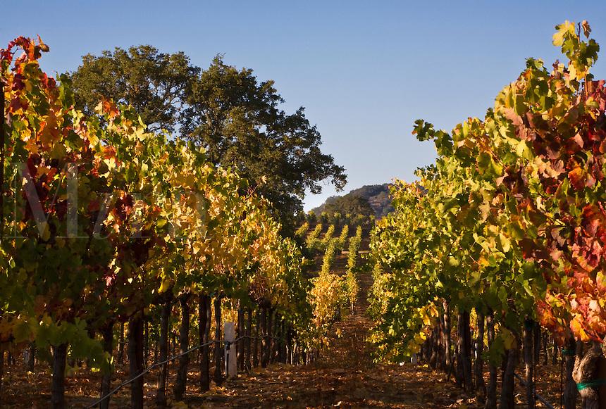VINEYARDS turn colors during the autumn in ALEXANDER VALLEY - HEALDSBURG,  CALIFORNIA
