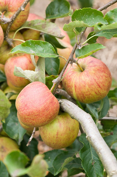 Apple 'Jonagored', early September. A sport of 'Jonagold' discovered in Belgium and introduced commercially in 1985.