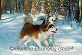 Marek, ANIMALS, REALISTISCHE TIERE, ANIMALES REALISTICOS, dogs, photos+++++,PLMP2934,#a#, EVERYDAY
