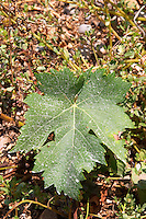 Vine leaf. Tempranillo grape variety. Kantina Miqesia or Medaur winery, Koplik. Albania, Balkan, Europe.