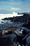 Sealion sleeping laying on rocks by edge of sea, waves, surf, Galapagos Islands .Galapagos....